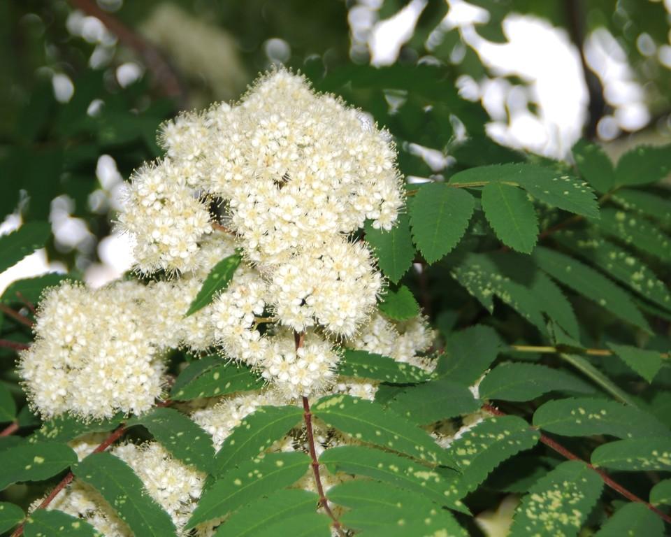 Mountain Ash - Floral - Anchorage - Alaska - USA