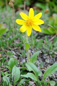 Wildflower - Flower - Flattop Mountain - Anchorage - Alaska - USA