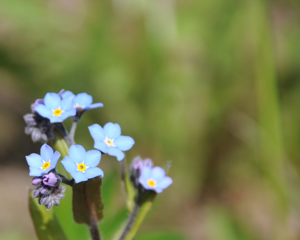 Forget Me Not - Flower - Floral - Alaska State Flower - Kenai - Alaska - USA