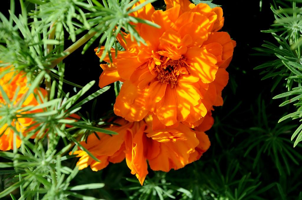 Marigolds - Flowers - Floral - Marigold - Palmer Fairgrounds - Palmer - Alaska - USA