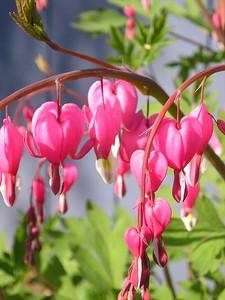 Bleeding Heart - Pink - White - Flower - Anchorage - Alaska - USA