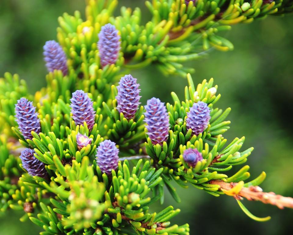 Pinecones - Tree -  Flattop Mountain - Anchorage - Alaska - USA