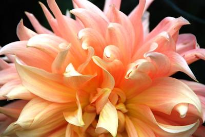 Dahlia - Coral - Pink - Flower - Anchorage - Alaska - USA