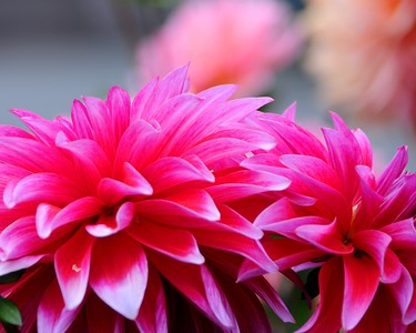 Dahlia - Floral - Anchorage - Alaska - USA