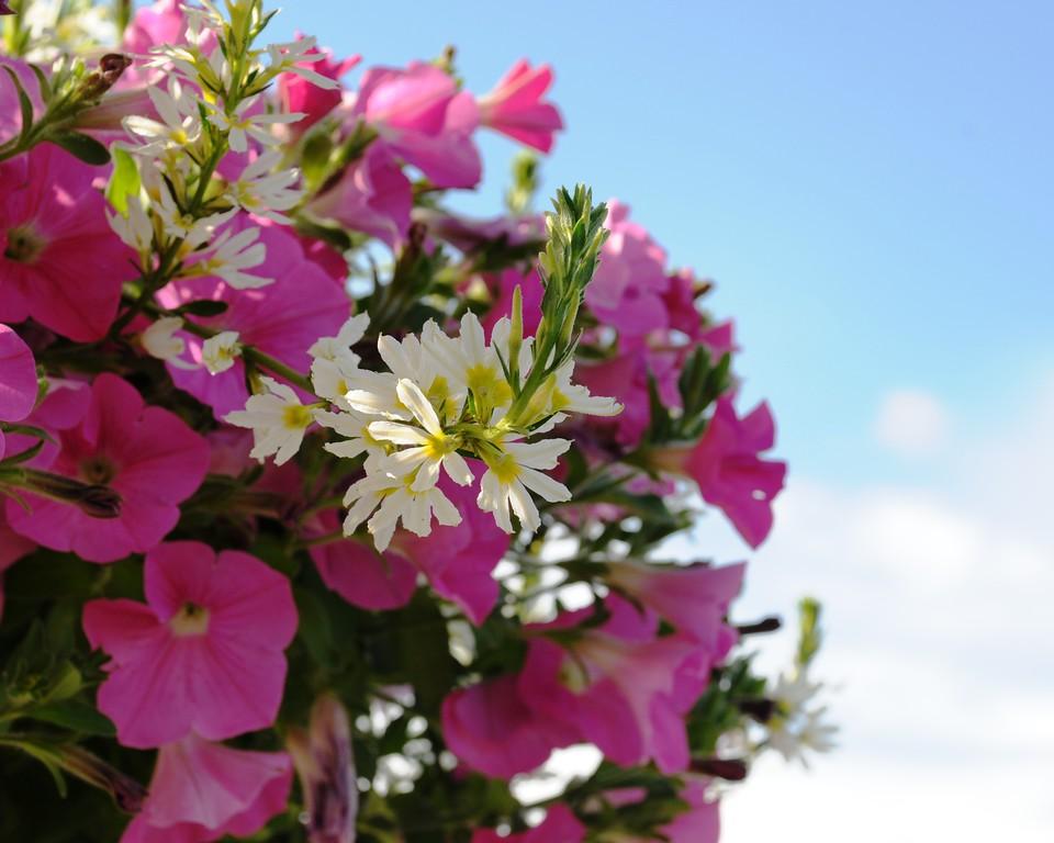 Petunias - Flower - Floral - Palmer Fairgrounds - Palmer - Alaska - USA