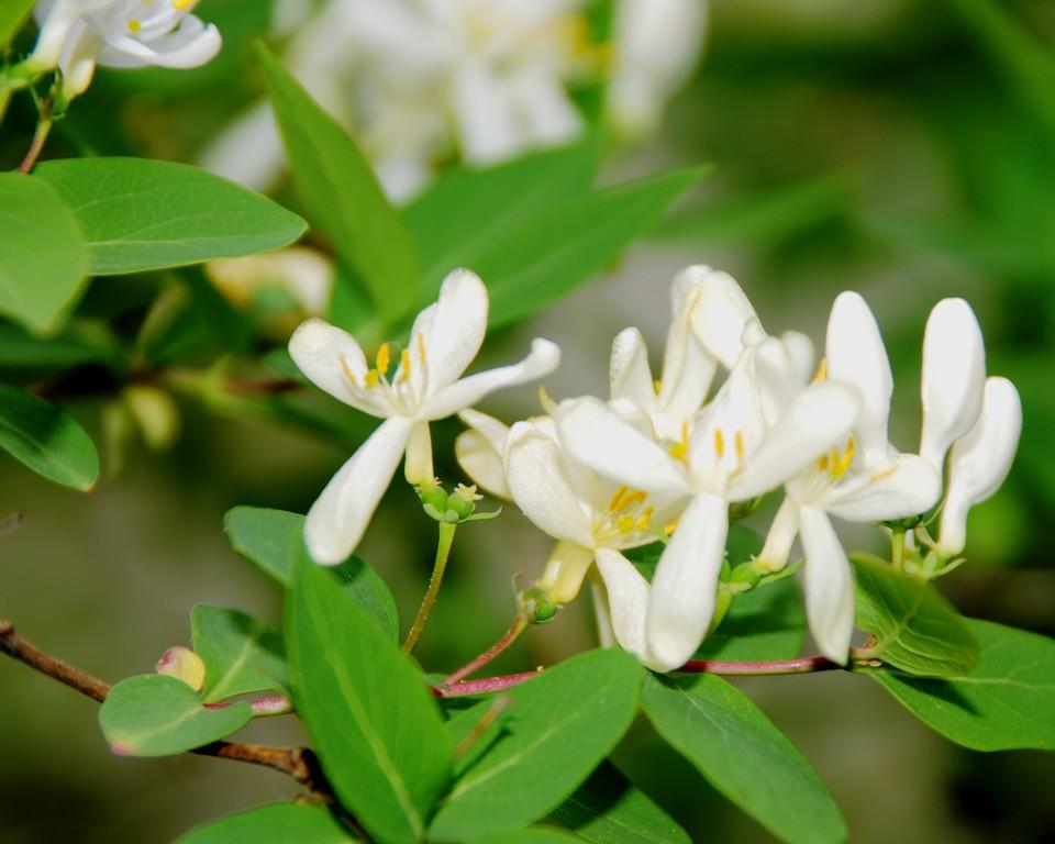 Honeysuckle - Floral - Anchorage - Alaska - USA