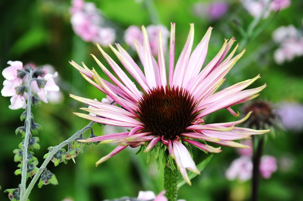 Purple Cone Flower - Flower - Floral - Palmer Fairgrounds - Palmer - Alaska - USA