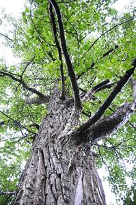 Cottonwood Tree - Eagle River - Alaska - USA