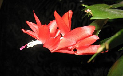 Cactus - Flower - Florals - Houseplant - Red - Anchorage - Alaska - USA