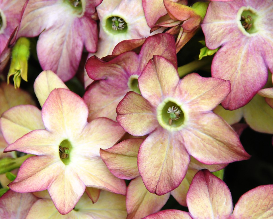 Nicotiana - Flower - Florals - Anchorage - Alaska - USA