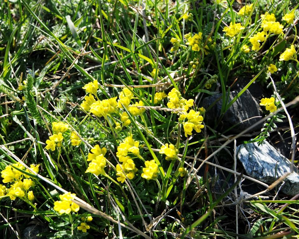 Wildflowers - Turnagain Arm - Alaska - USA