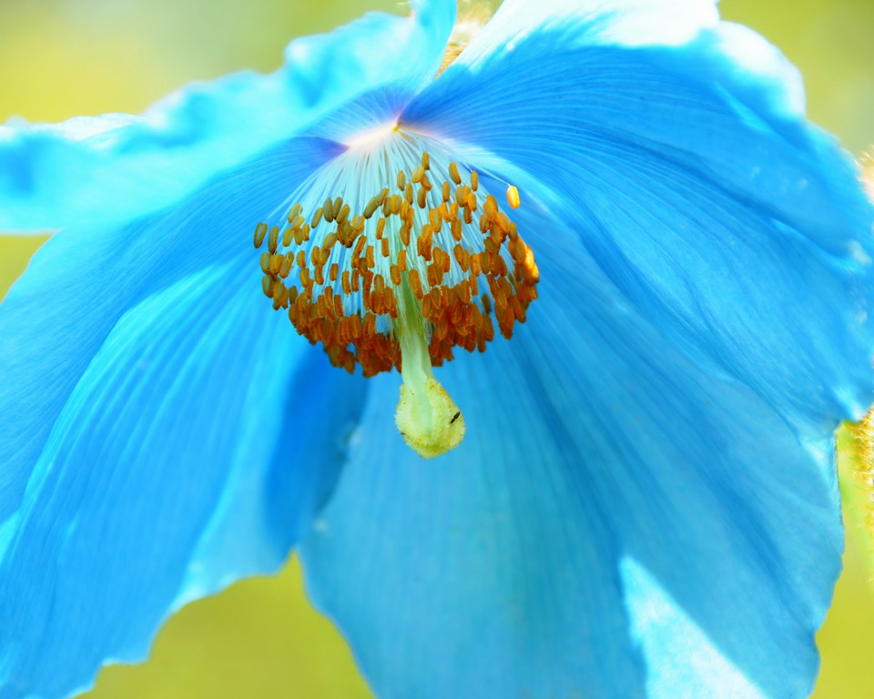 Himalayan Blue Poppy - Floral - Anchorage - Alaska - USA