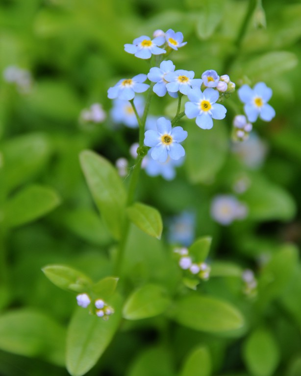 Forget Me Not - Flower - Floral - Alaska State Flower - Big Lake - Alaska - USA