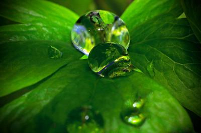 Water Droplet on Bleeding Heart - Anchorage - Alaska - USA