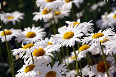 Daisies - Flower - Floral - Kenai - Alaska - USA