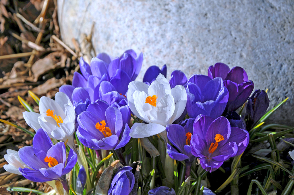 Crocus - Anchorage - Alaska - USA