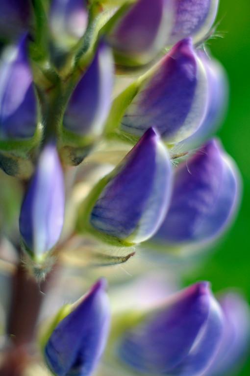 Lupines - Floral - Wildflower - Anchorage - Alaska - USA