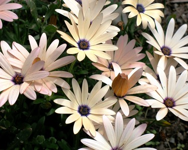 Daisy - White - Pink - Yellow - Flower -Anchorage - Alaska - USA