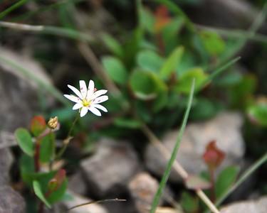 Wildflower - Floral - Flattop Mountain - Anchorage - Alaska - USA