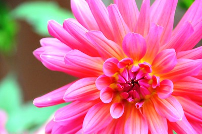 Dahlia - Flower - Florals - Anchorage - Alaska - USA