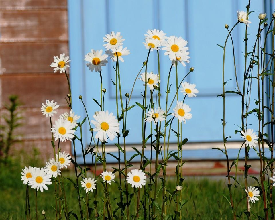 Daisies by door - Anchorage - Alaska - USA