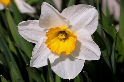 Daffodill - Flower - Spring - Anchorage - Alaska - USA