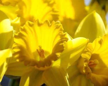 Daffodil - Flower - Anchorage - Alaska - USA