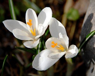 Crocus - White - Flower - Anchorage - Alaska - USA