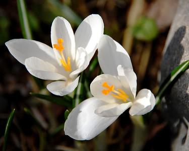 Crocus - White - Flower - Anchorage - Alaska - USA