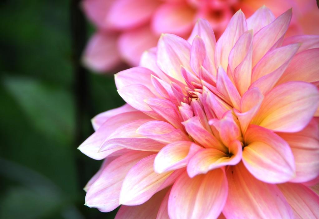 Dahlia - Floral - Anchorage - Alaska - USA