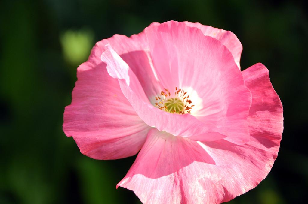 Poppy - Flower - Floral - Kenai - Kenai Peninsula - Alaska - USA