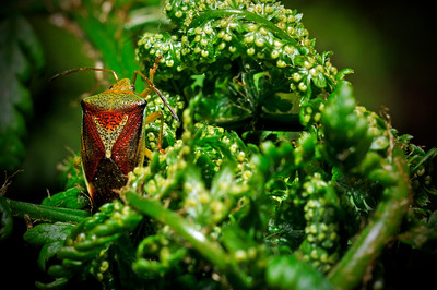 Stink Bug on Fern - Anchorage - Alaska - USA