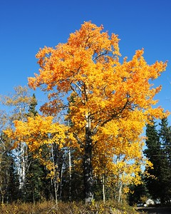 Fall Colors - Edgerton Highway - Alaska - USA