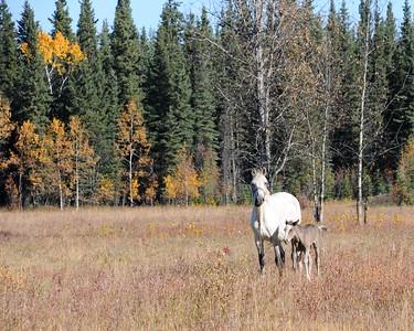 Horses - Edgerton Highway - Alaska - USA