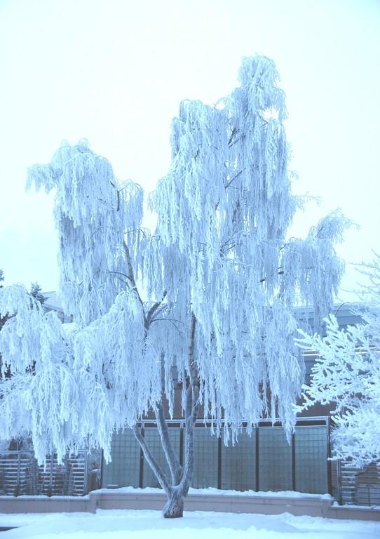 Hoarfrost on Trees  - Downtown - Anchorage - Alaska