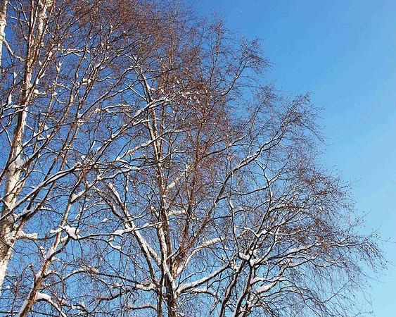 Trees - Winter - Anchorage - Alaska