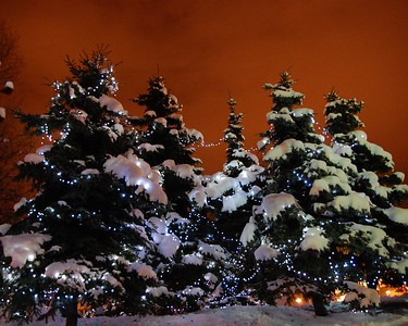Holiday Lights on Spruce Trees - Downtown - Anchorage - Alaska - USA