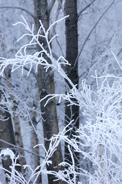 Hoarfrost- Alaska Winters - Anchorage - Alaska - USA
