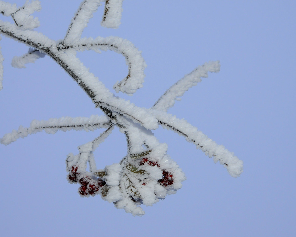 Hoarfrost on Mountain Ash Tree - Alaska Winters - Anchorage - Alaska - USA