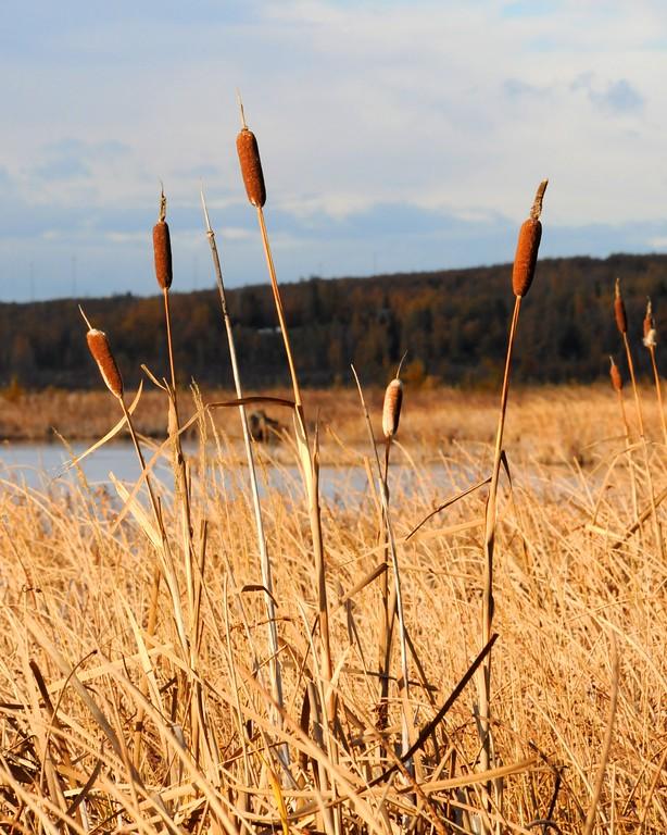 Cattails - Potter's Marsh - Anchorage - Alaska - USA