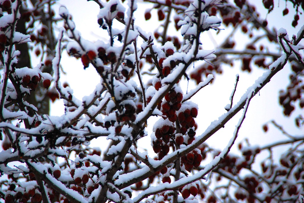Crab Apple Tree with Snow - Anchorage - Alaska