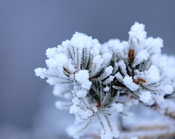 Hoarfrost on Spruce - Alaska Winters - Anchorage - Alaska - USA