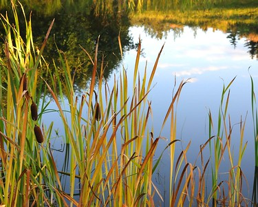 Cattails - Plants - Anchorage - Alaska - USA