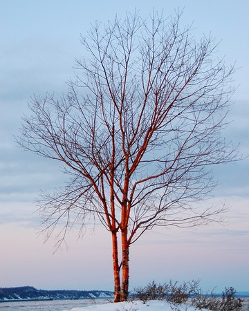 Tree- Sunset - Anchorage - Alaska  - USA