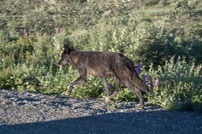 Thursday July 20th - Denali National Park-94-2