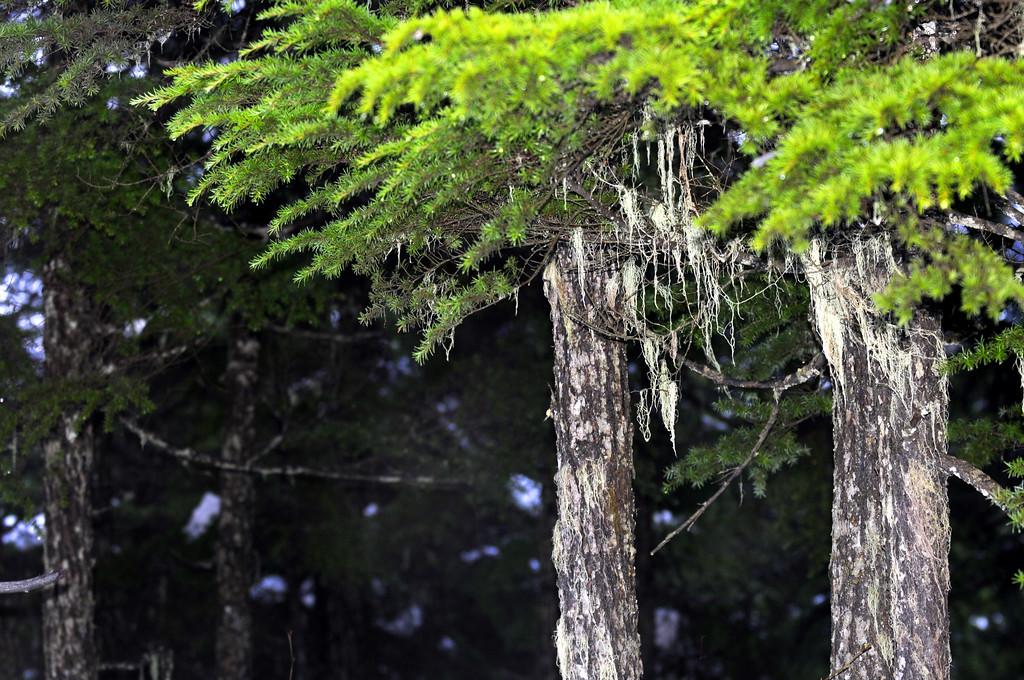 Wintery Trees - Girdwood - Alaska - USA