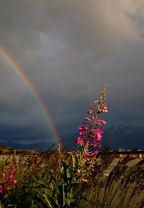 Fireweed and Rainbow - Turnagain Arm - Anchorage - Alaska - USA