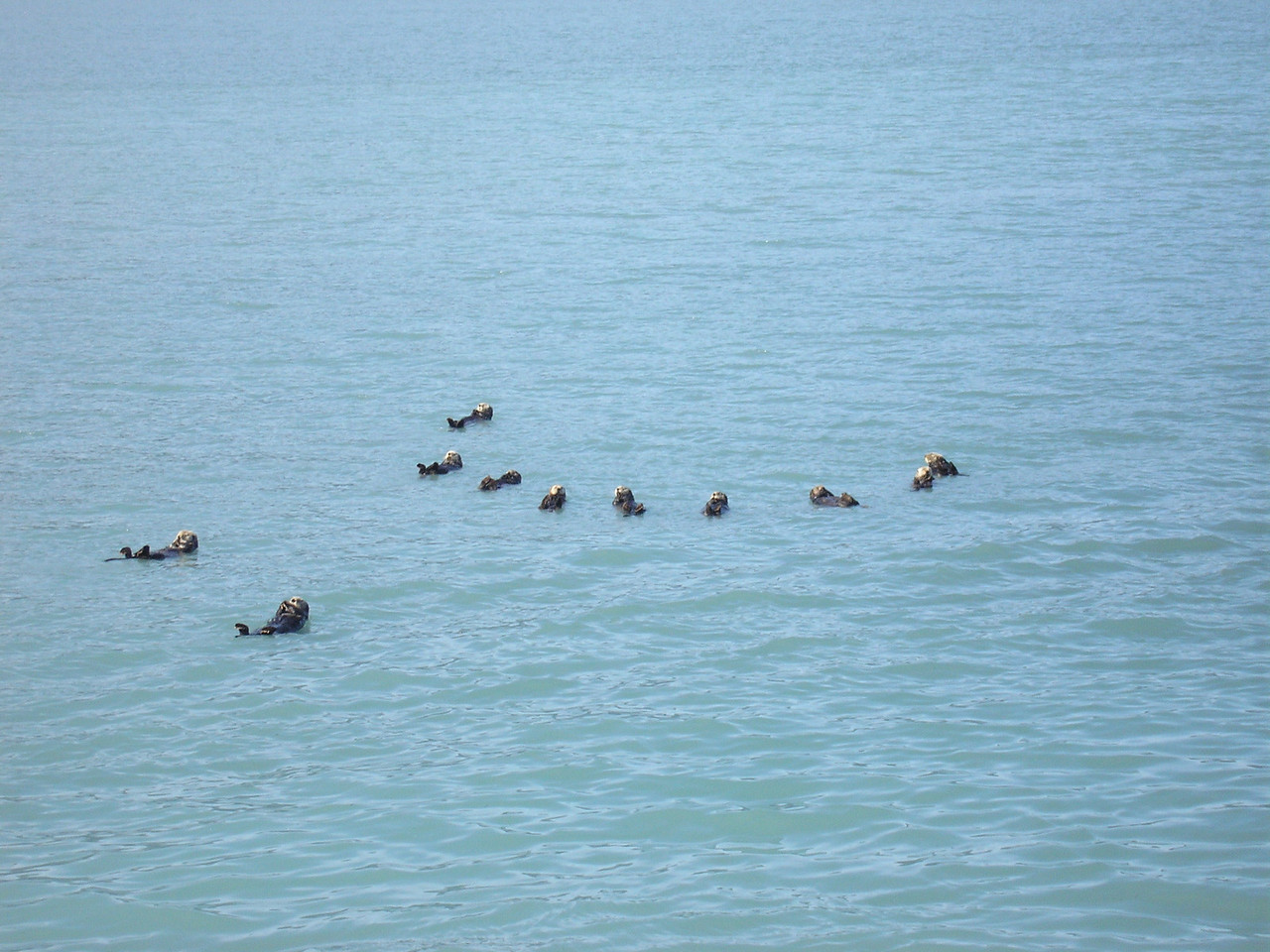 "This is a ""raft"" of Sea Otters. They are very social animals and float in family groups."