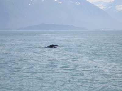 Humpback whale and calf swim together.