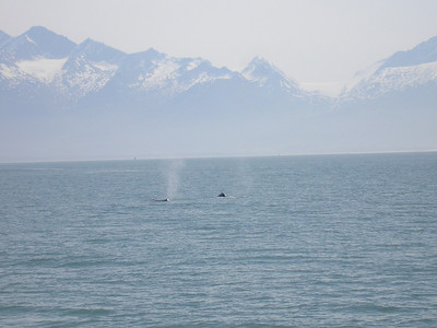There she blows!! We got kind of close to a mother hump back and her calf.